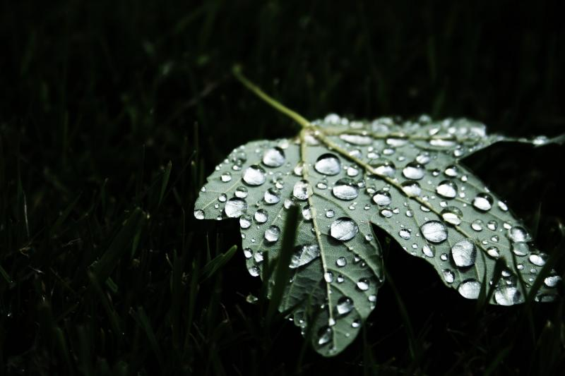 Maple leaf and water droplets
